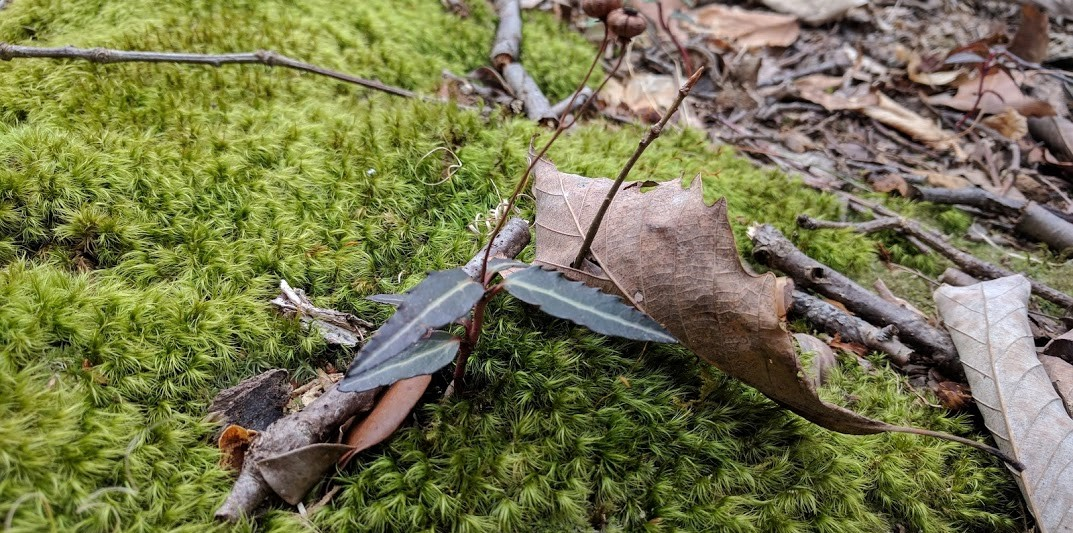 Moss with leaves