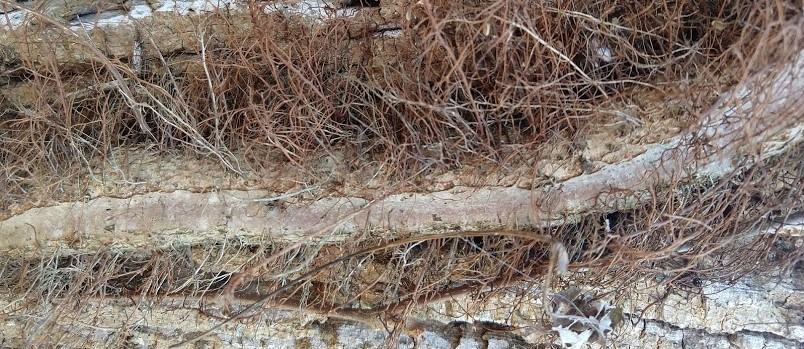 Poison Ivy dried vine